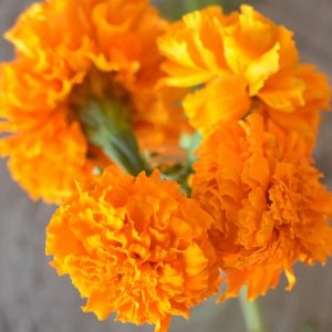 Marigold-Day-of-the-Dead-1_opt