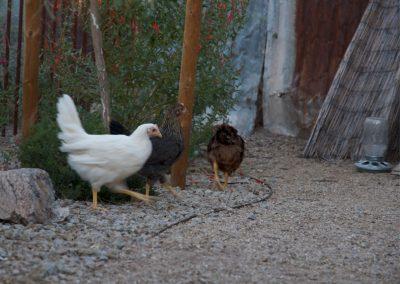 barrio-viejo-chickens