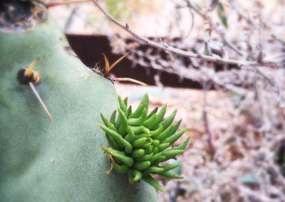 el-montevideo-cactus-pad